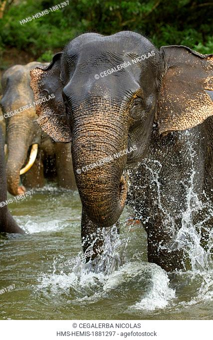 Indonesia, Sumatra Island, Aceh province, Sampoiniet, elephant from the Conservation Response Unit for the protection of Sumatran elephants taking a bath in the...