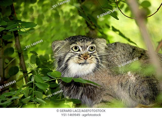 Manul or Pallas's Cat, otocolobus manul, Adult