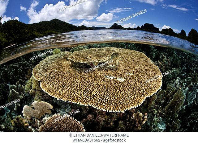 Table Coral on Reef Top, Acropora sp., Raja Ampat, West Papua, Indonesia