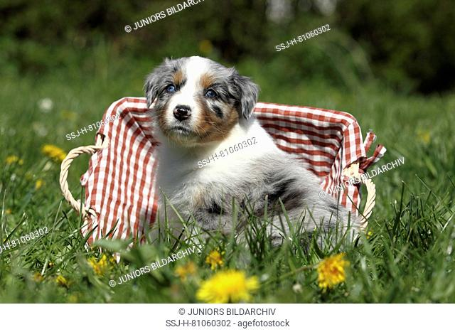 Australian Shepherd. Puppy (5 weeks old) sitting in a basket in grass. Germany
