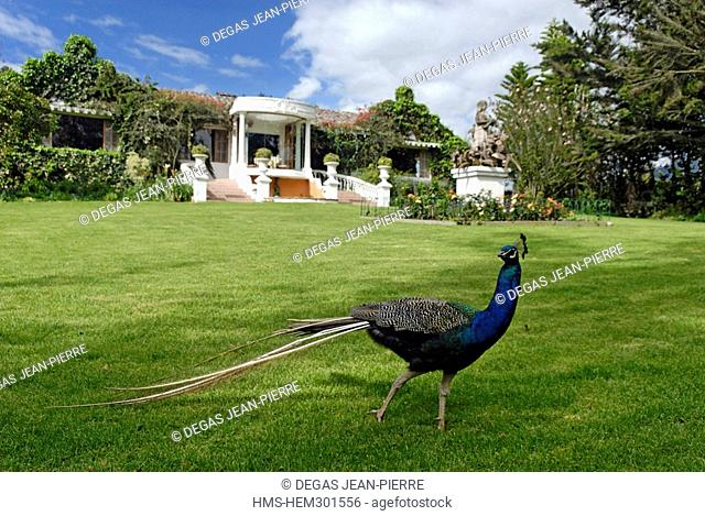 Ecuador, Imbabura Province, Andes, Cotacachi, Hacienda La Mirage, peacock at the entrance of the only Relais & Chateaux of the country