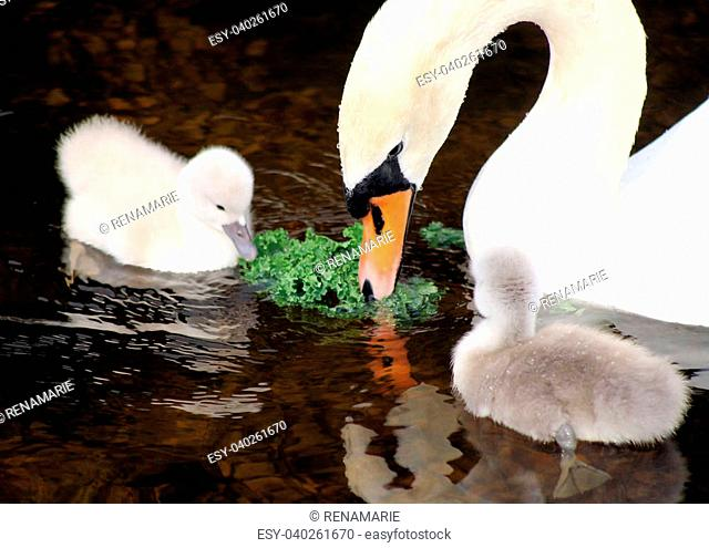 Newborn baby swans watch their mother and share a piece of lettuce
