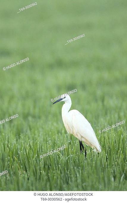 Little egret. Egretta garzetta. Ebro Delta, Catalonia, Spain