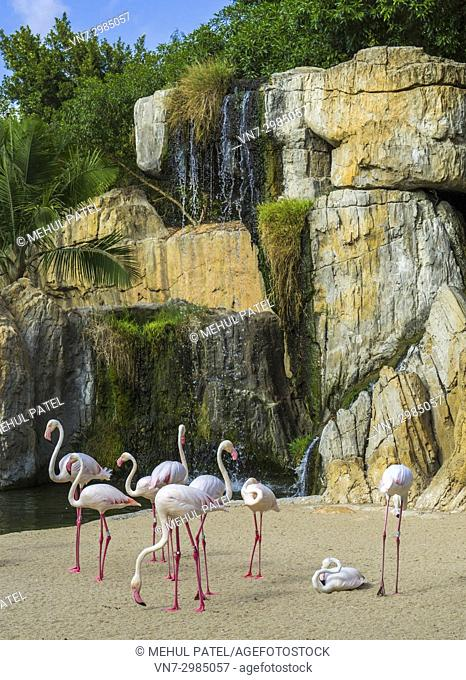 Group of Greater flamingos (Phoenicopterus roseus) in the natural animal park, Bioparc Valencia, Spain. The Greater flamingos share a multispecie enclosure...