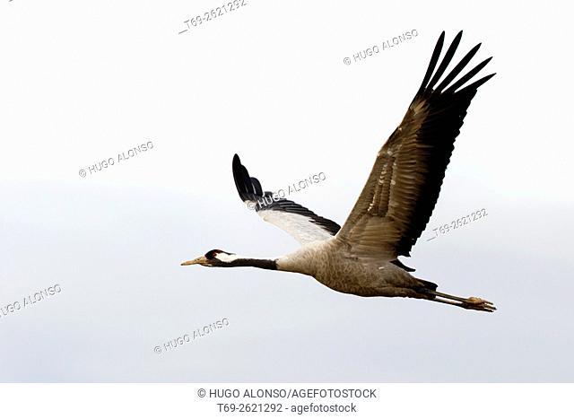 Crane flying. Gallocanta. Spain