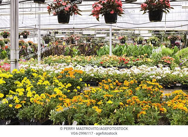 Hanging baskets of pink Impatiens above tables with orange and yellow Tagetes - Marigold, white Pelargonium - Geranium flowers being grown in plastic containers...