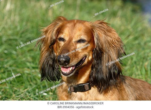 Long-haired dachshund, male dog, 7 years, North Rhine-Westphalia, Germany