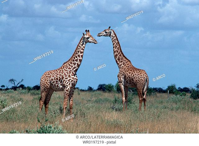 Giraffes, Tsavo, national, park, Kenya,Giraffa, camelopardalis