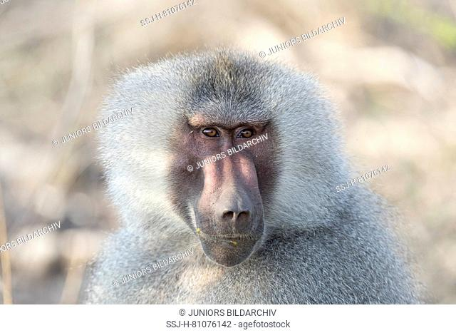 Hamadryas Baboon (Papio hamadryas). Portrait of dominant male. Awash National Park, Ethiopia