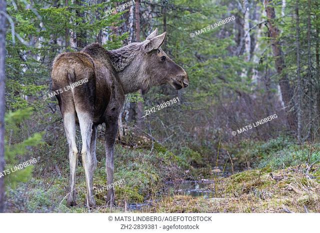 Moose, Alces alces, in forest turning head towards camera, Gällivare, Swedish Lapland, Sweden