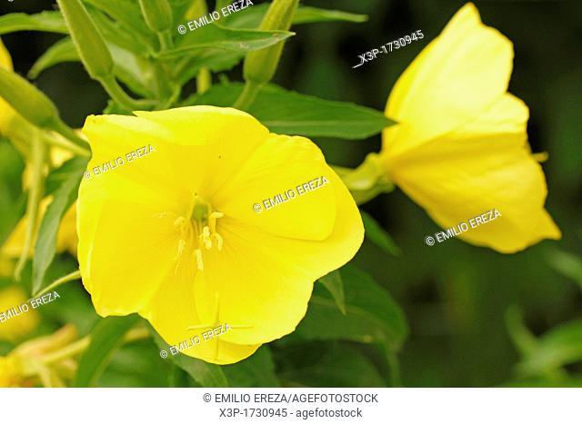 Evening primrose  Oenothera biennis