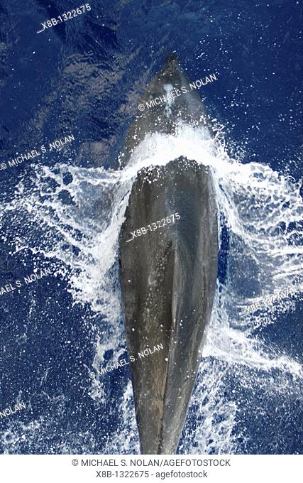 Adult bottlenose dolphin Tursiops truncatus bow riding the National Geographic Endeavour in the waters surrounding Ascension Island in the south Atlantic Ocean
