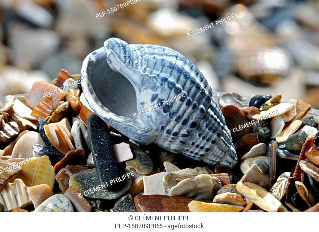 Netted dog whelk (Nassarius reticulatus / Hinia reticulata) fossil on beach