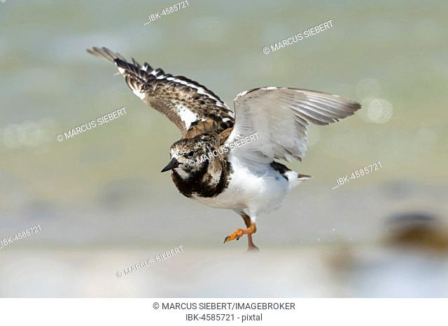 Ruddy turnstone (Arenaria interpres) with extended wings, at take-off, Helgoland, Schleswig-Holstein, Germany