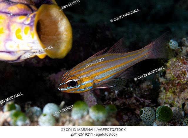 Yellowstriped Cardinalfish (Apogon cyanosoma), Barracuda Rock dive site, Fiabacet Island, Raja Ampat (4 Kings) area, West Papua, Indonesia
