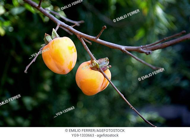 Kaki on a tree  LLeida  Spain