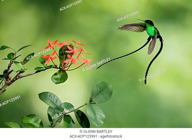 Black-billed Streamertail (Trochilus polytmus scitulus) flying while feeding at a flower in Jamiaca