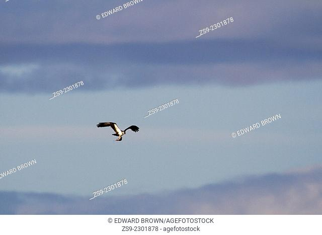 Osprey (Pandion haliaetus) in flight carrying fish, Scotland, UK