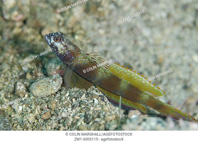 Wide-barred Goby (Amblyeleotris latifasciata), with fin extended on black sand, Critter Hunt dive site, Lembeh Straits, Sulawesi, Indonesia
