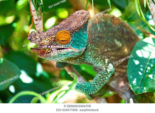 Beautiful camouflaged chameleon in Madagascar, presumably the Parsons chameleon (Calumma parsonii), striking at an insect