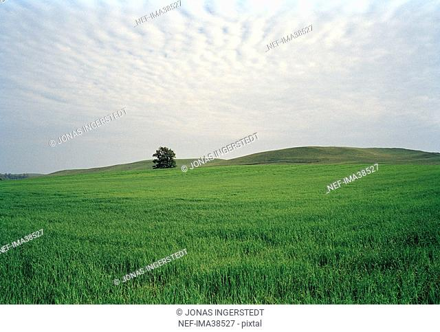 Green field with a lonely tree.