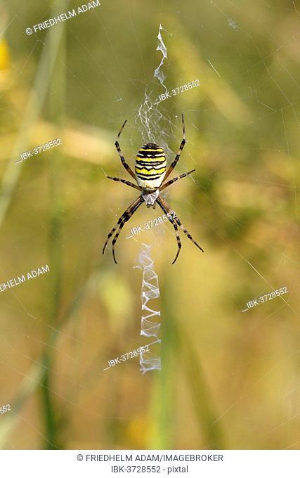 Wasp Spider or Zebra Spider (Argiope bruennichi), female sitting in a web, North Rhine-Westphalia, Germany