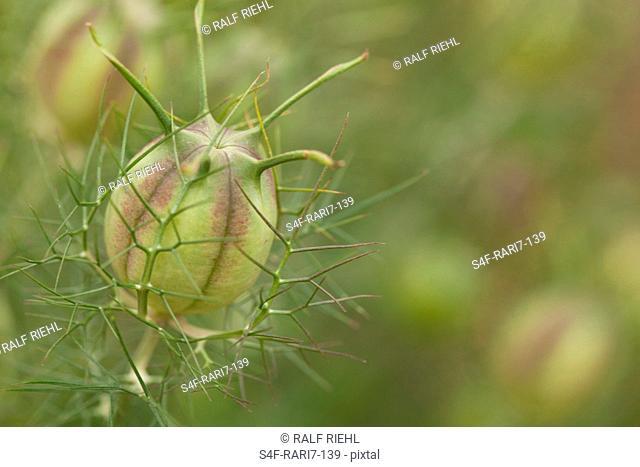 Samenkapsel einer Jungfer im Grünen