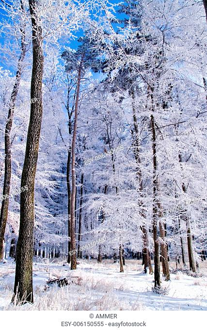 Winter forest, thick rime on the trees in freezing sunny day with blue sky in the background, Drahany Highlands, Southern Moravia, Czech Republic