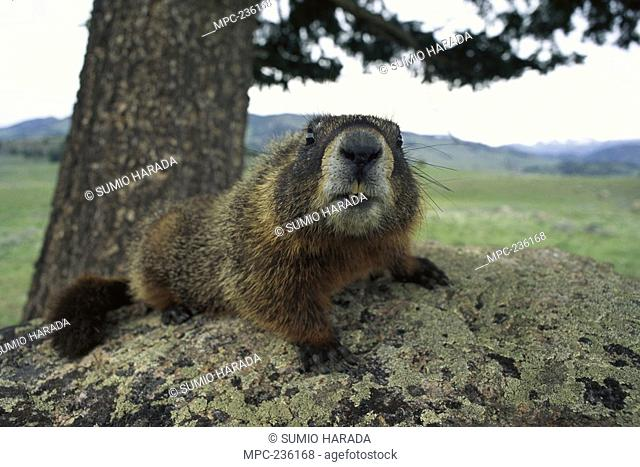 Yellow-bellied Marmot Marmota flaviventris, close-up, laying on lichen covered rock, Rocky Mountains, North America