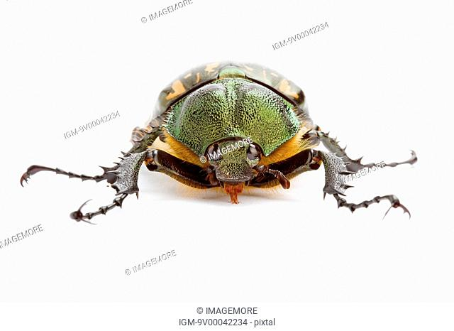 Scarab Beetle, Beetle, Insect, Euchiridae, Coleoptera