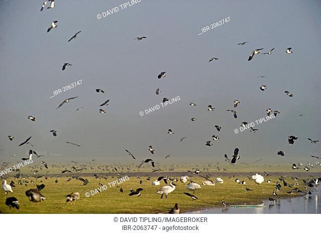 Lapwing (Vanellus vanellus) flock, winter, Slimbridge, Gloucestershire, England, United Kingdom, Europe