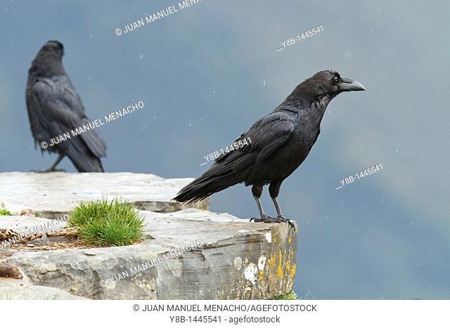 Common Raven (Corvus corax) Pyrenees, Spain