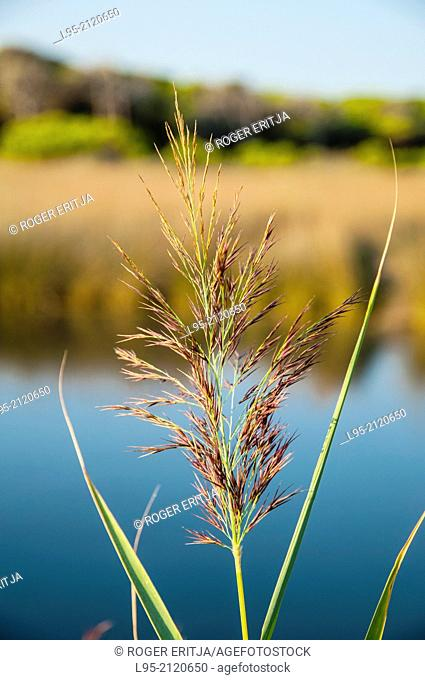 Phragmites communis Reed on a next-to-the-beach lagoon in the Mediterranean shore, Spain