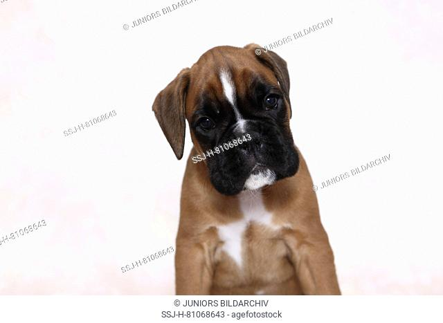 German Boxer. Portrait of a puppy (7 weeks old). Studio picture. Germany
