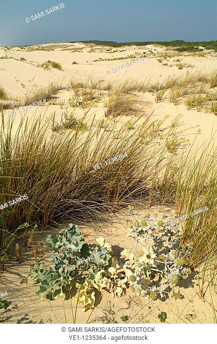 Tussock grass among the sand dunes, Le Porge, Gironde, France