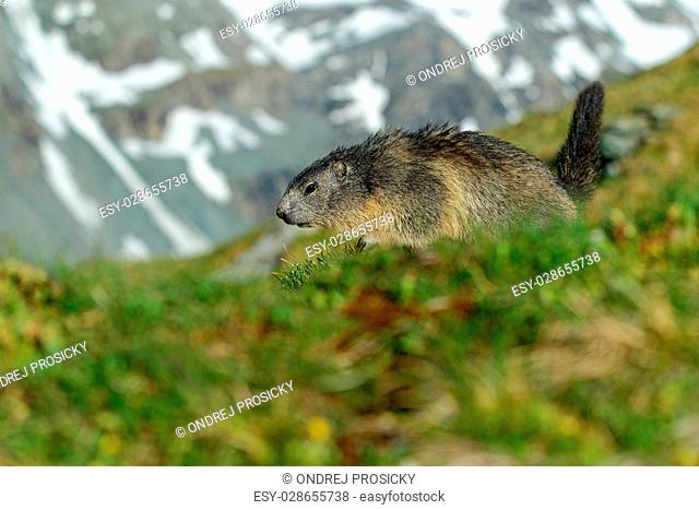 Marmot, Marmota marmota, Cute animal running in the grass