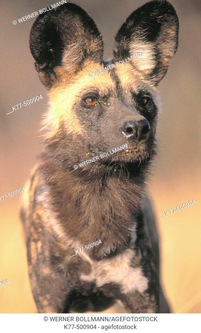 African wild dog (Lycaon pictus), captive. Game farm. Namibia