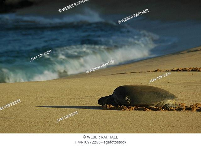 Ascension, Ascension Island, coast, tortoise, green turtle, turtle, Chelonia mydas, beach, seashore, sand beach, sea, waves, morning