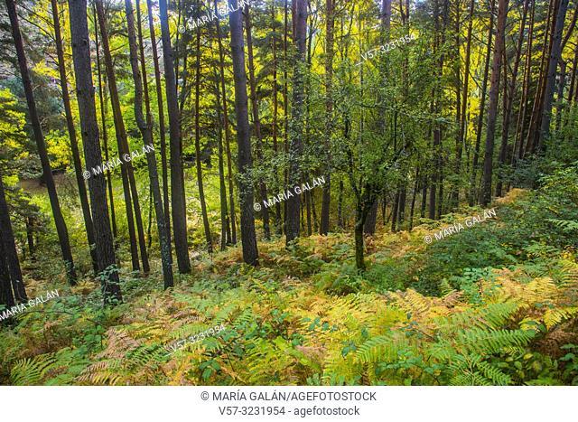 Pine forest in Autumn. Sierra del Rincon, Montejo de la Sierra, Madrid province, Spain