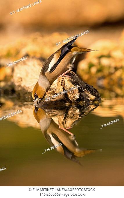 Hawfinch (Coccothraustes coccothraustes). Motilla del Palancar, Cuenca province, Castile-La Mancha, Spain