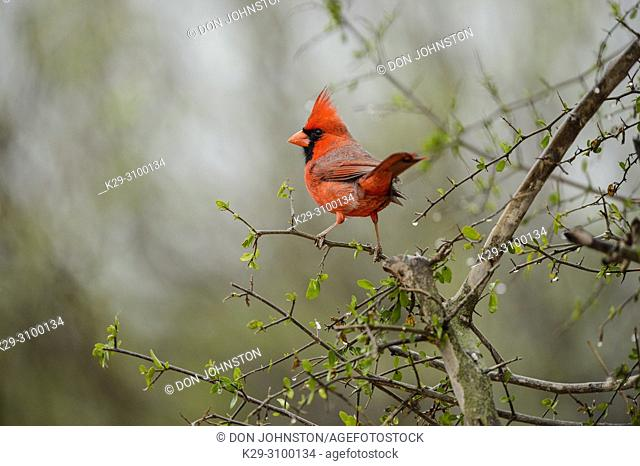 Northern Cardinal (Cardinalis cardinalis) Male, Santa Clara Ranch, Starr County, Texas, USA