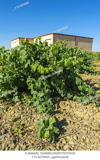 "Vineyards. Bodega Naia, D.O. Rueda, """"verdejo"""" grape variety. Valladolid province, Castile-Leon, Spain"