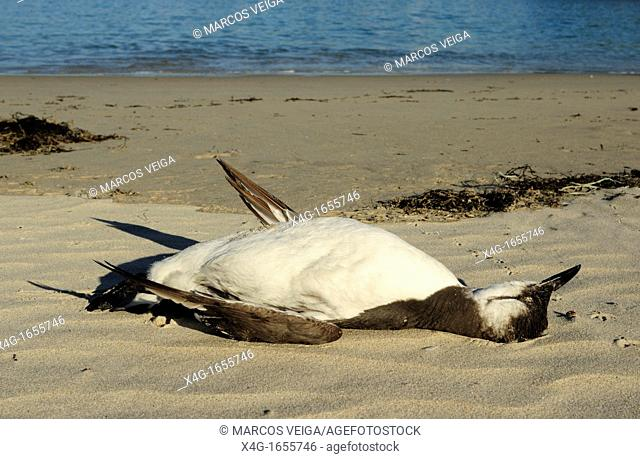 Dead Common Murre or Common Guillemot Uria aalge