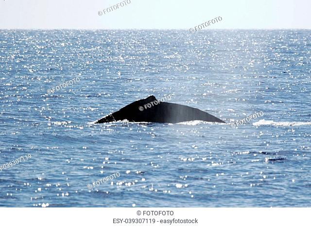 Humpback whale are swimming next to coast of Hawaii island