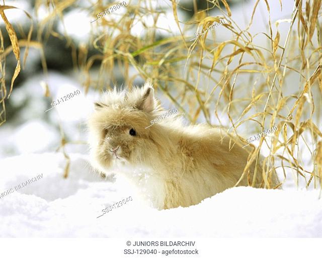angora rabbit in snow