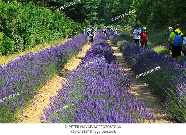 tourists amongst the lavender at Notre-Dame de Sénanque Abbey Provence France