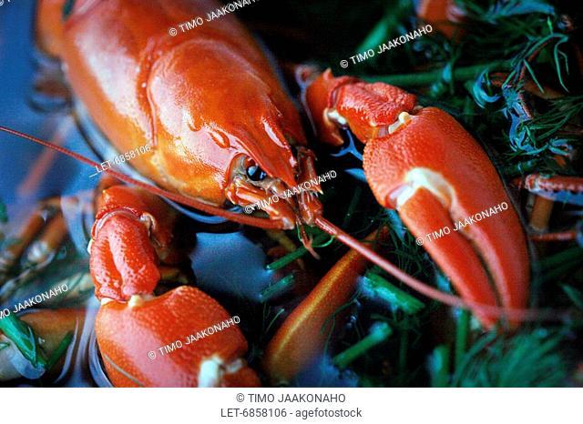 A signal crayfish Pacifastacus leniusculus in a casserole  Vantaa, Finland