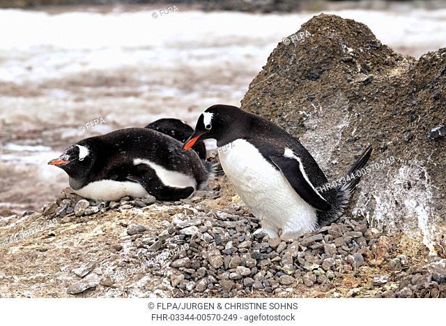 Gentoo Penguin (Pygoscelis papua) adults, incubating egg on nest in nesting colony, Half Moon Island, South Shetland Islands, Antarctica, December