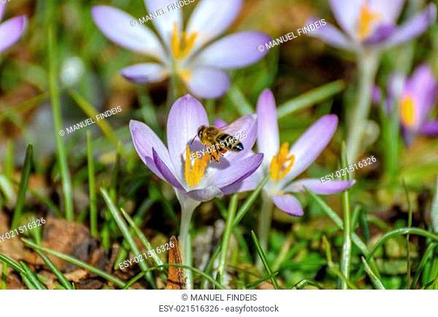 Bee in landing approach on purple crocus