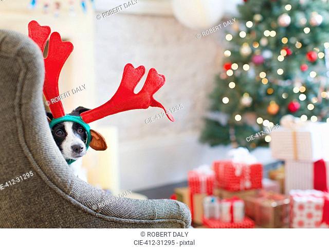 Portrait dog wearing reindeer antlers near Christmas tree